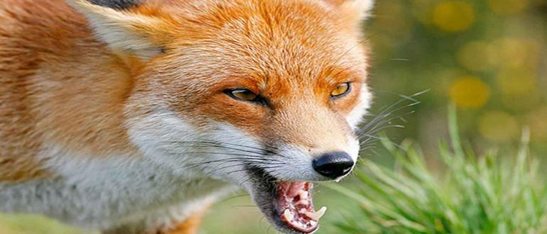 укусила лисица