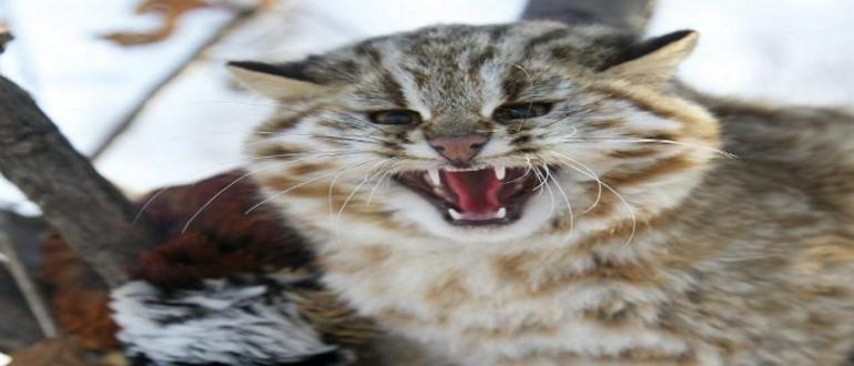 укусил лесной кот