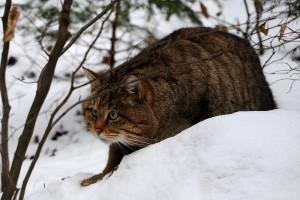 Европейский лесной кот